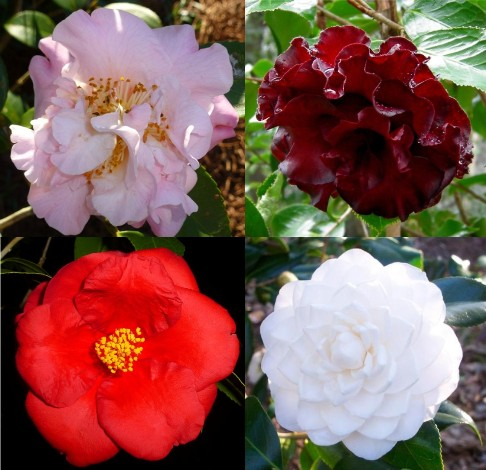 Click to see our Camellias