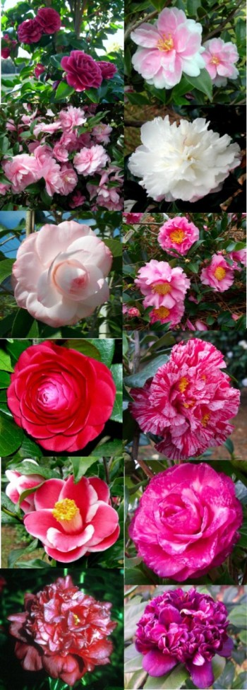 New Camellias and Sasanquas for 2015 and 2016