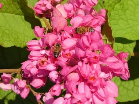 Pink rose of montana coral vine butterfly plants almost eden mightylinksfo