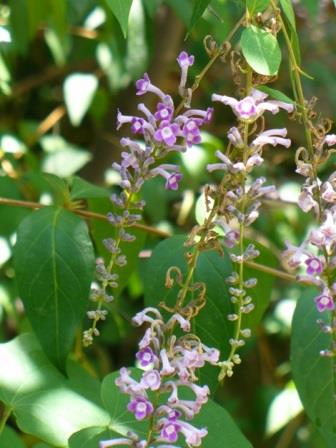 Are borne continuously from late spring to fall an unusual variety