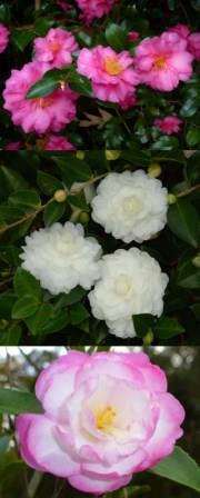 Camellia Sasanquas Are Excellent Evergreens For Fall And Winter Color