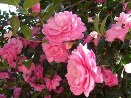 Susy dirr sasanqua camellia shrubs trees almost eden for Camelia sasanqua