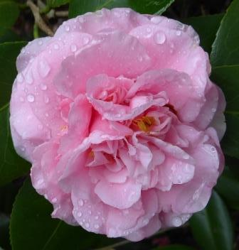 Debutante camellia shrubs trees almost eden mightylinksfo