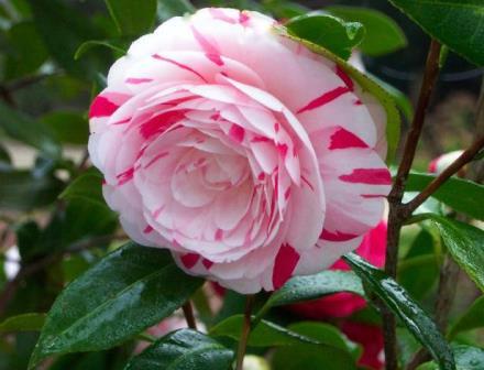 La peppermint camellia shrubs trees almost eden mightylinksfo