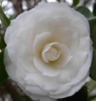 White by the gate camellia shrubs trees almost eden mightylinksfo