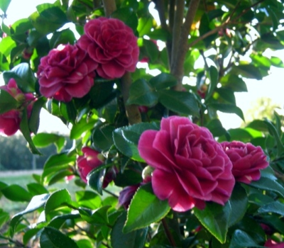 Purple haze sasanqua camellia shrubs trees almost eden for Camelia sasanqua