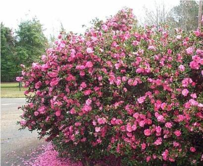 Showa no sakae sasanqua camellia shrubs trees almost for Camelia sasanqua