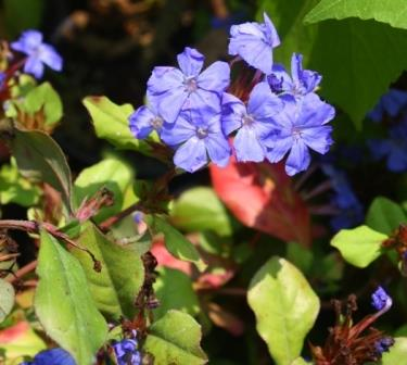Dwarf Plumbago Seeds Dwarf Blue Plumbago Leadwort