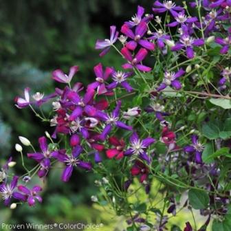 how to prune sweet summer love clematis
