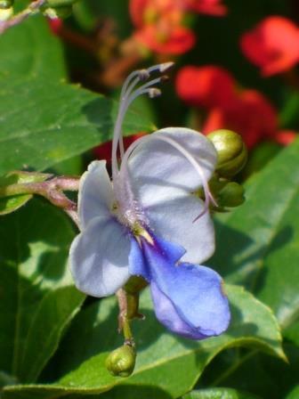 Blue Butterfly Bush Blue Glory Bower Blue Wings Bush