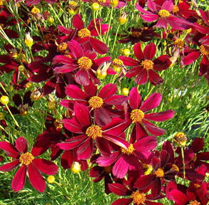 Red Satin Permathread™ Threadleaf Coreopsis, Tickseed - Butterfly ...