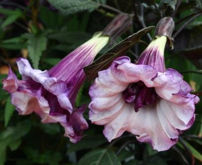 Angel s trumpet purple hindu datura devil s trumpet horn of plenty