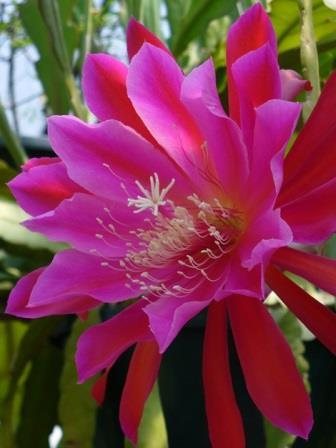 Red orchid cactus pink flowers or flower parts almost eden mightylinksfo