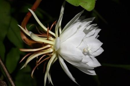 Night blooming cereus queen of the night orchid cactus for A flower that only blooms at night