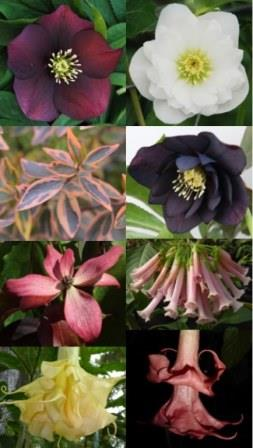 New for 2017 - Doing Double Duty - Clockwise from top left: Winter Thriller Red Racer Helleborus, Winter Thriller Wedding Ruffles Helleborus, Winter Thriller Midnight Ruffles Helleborus, Pretty in Pink Iochroma, Pink Perfektion Angel's Trumpet, Goldflame Angel's Trumpet, Little Ruby Hybrid Dogwood, Twist of Orange Abelia