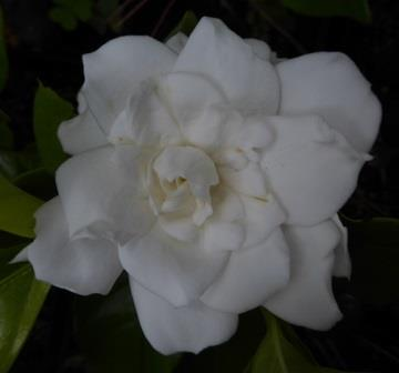 gold doubloon™ gardenia  fragrant plants  almost eden, Beautiful flower
