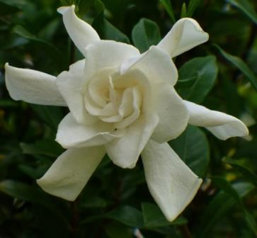 august beauty gardenia, cape jessamine, cape jasmine  fragrant, Beautiful flower