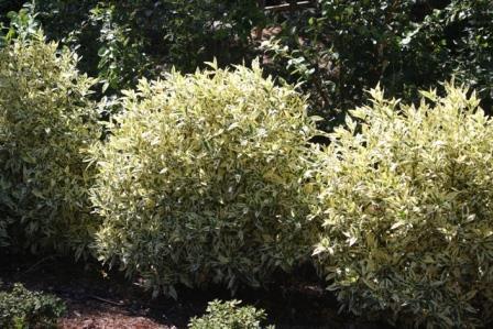Variegated Gardenia, Variegated Cape Jasmine - Fragrant ...Gardenia Jasminoides Variegata