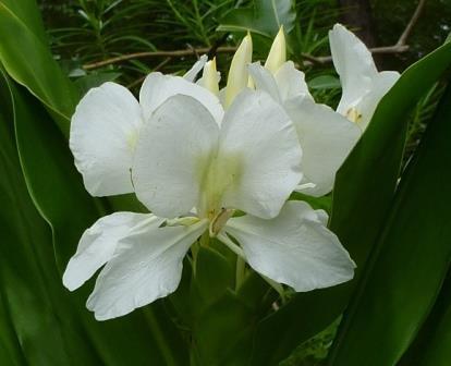 white butterfly ginger, garland flower  fragrant plants  almost eden, Natural flower