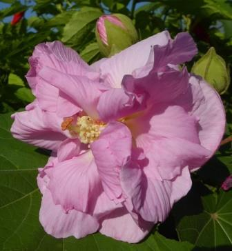 Double pink confederate rose cotton rose mallow perennials double pink confederate rose cotton rose mallow perennials almost eden mightylinksfo