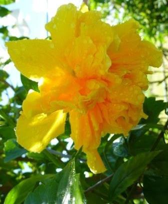 Triple Twist Braided Hibiscus - National Plant Network ... |Triple Hibiscus