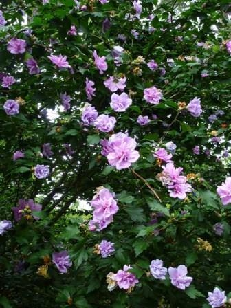 hibiscus syriacus shrub hibiscus syriacus hibiscus. Black Bedroom Furniture Sets. Home Design Ideas
