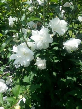 Double white althea rose of sharon shrubs trees almost eden mightylinksfo Image collections