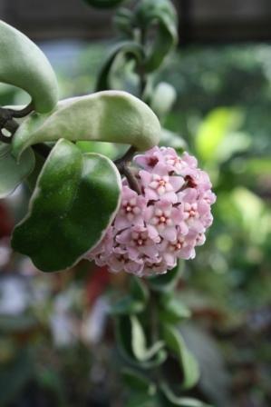 Variegated Hindu Rope Porcelain Flower Hoya Carnosa