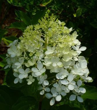 almost eden shrubs trees phantom peegee hydrangea. Black Bedroom Furniture Sets. Home Design Ideas