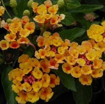 Bandana orange lantana perennials almost eden mightylinksfo