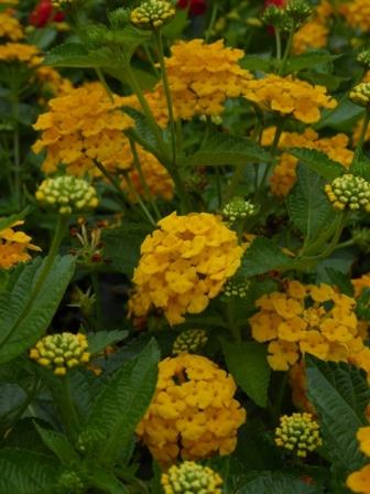 Chapel hill gold lantana mounding golden yellow perennials chapel hill gold lantana mounding golden yellow perennials almost eden mightylinksfo