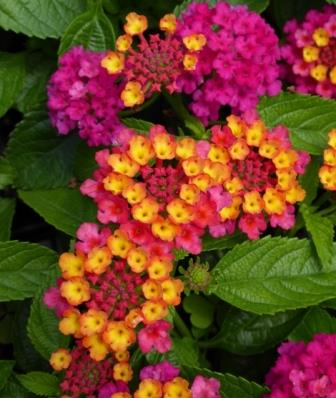 Dark purple lantana compact bush purple perennials almost eden mightylinksfo