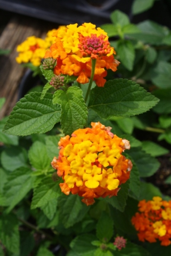 Miss huff hardy lantana perennials almost eden mightylinksfo