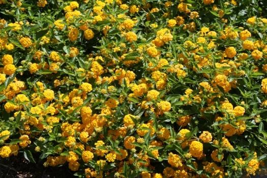 New gold lantana trailing yellow perennials almost eden mightylinksfo