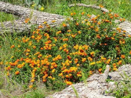 how to grow lantana santana red orange