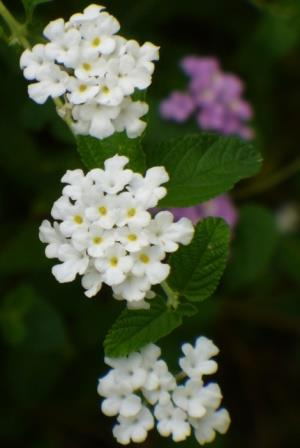 White trailing lantana weeping lantana perennials almost eden mightylinksfo