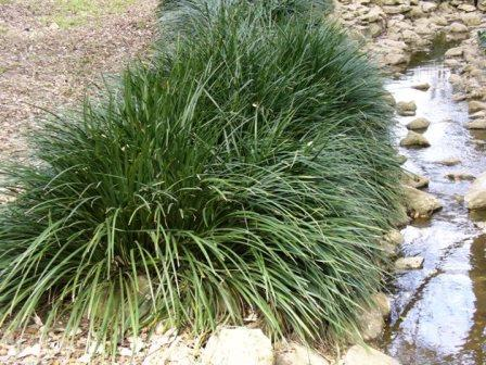 Evergreen Giant Liriope, Lilyturf - Cut Flowers - Almost Eden