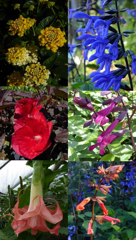 New for 2017 - Black and Bloom Salvia, Love and Wishes Salvia, Embers Wish Salvia, Mimi Hibiscus, Landscape Bandana Lemon Zest Lantana