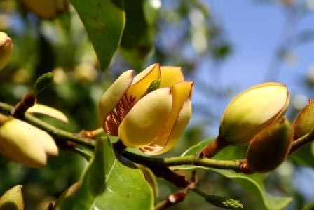 Banana Magnolia Banana Shrub Fragrant Plants Almost Eden
