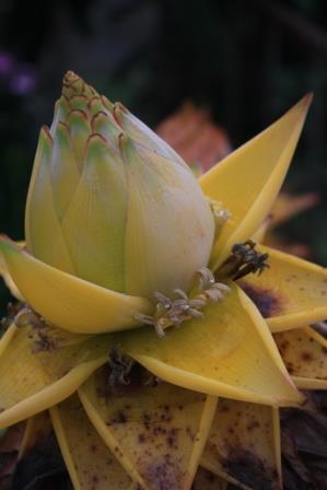 golden lotus banana chinese yellow banana tropicals. Black Bedroom Furniture Sets. Home Design Ideas