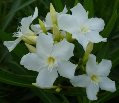 Soeur Agnes White Oleander Nerium Oleander Soeur Agnes