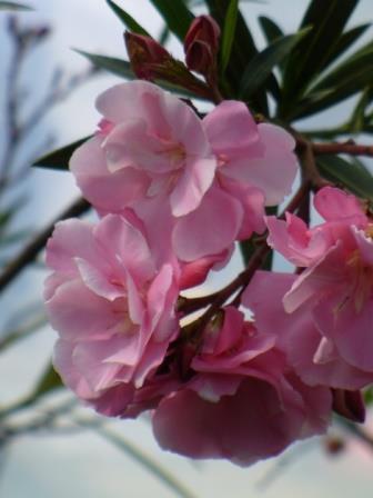 Splendens double pink oleander mrs isadore dyer oleander shrubs splendens double pink oleander mrs isadore dyer oleander shrubs trees almost eden mightylinksfo