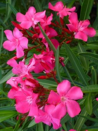 Calypso oleander deer resistant plants almost eden for Nerium oleander