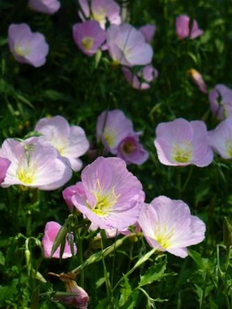 Pink evening primrose pink ladies pink buttercups showy evening pink evening primrose pink ladies pink buttercups showy evening primrose mexican evening primrose white evening primrose perennials almost eden mightylinksfo