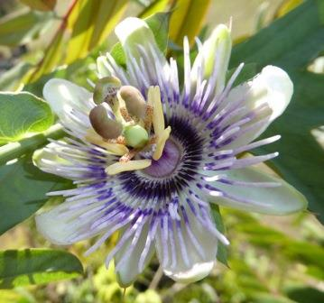 How how white leafed passionflower passion vine passionfruit how how white leafed passionflower passion vine passionfruit butterfly plants almost eden mightylinksfo
