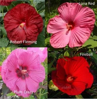 Perennial Hibiscus - Robert Fleming, Luna Red, Plum Crazy, and Fireball