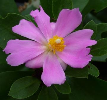 Pink rose cactus pink flowers or flower parts almost eden mightylinksfo