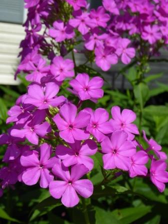 Delighful Garden Phlox Poore Summer Border Fall For Decorating Ideas