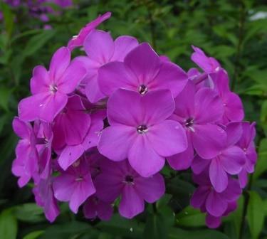 Texas pink garden phlox summer border phlox fall phlox texas pink garden phlox summer border phlox fall phlox hummingbird plants almost eden mightylinksfo