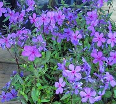 Louisiana Blue Phlox, Woodland Phlox, Wild Sweet William, Wild Blue Phlox,Phlox divaricata 'Louisiana Blue', copyright � almostedenplants.com